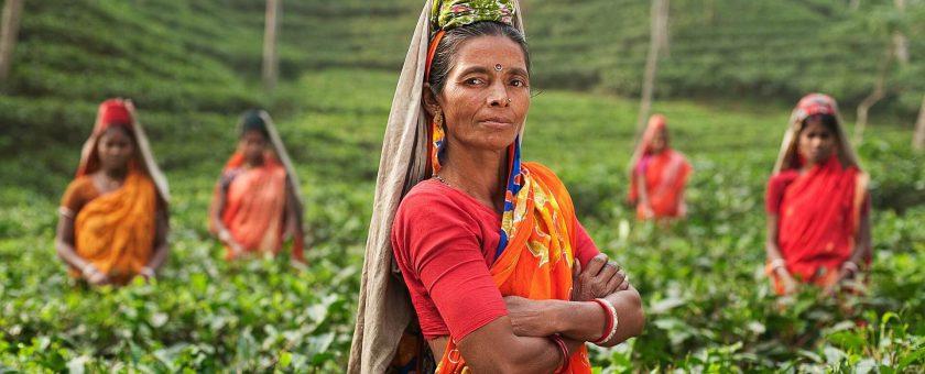 Wszystko o czerwonej herbacie